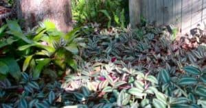 How To Grow Wandering Jew Outside As Ground Cover
