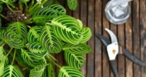 How To Propagate Prayer Plant_ 4 Methods To Do It Successfully