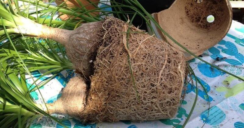 Ponytail Palm Repotting_ How And When To Repot Ponytail Palm