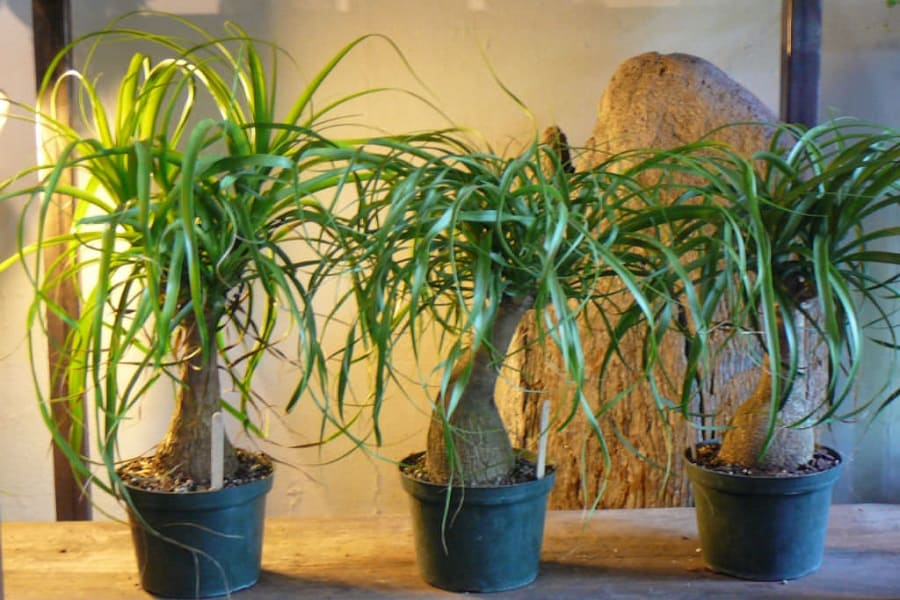 Ponytail Palm Repotting: How And When To Repot Ponytail Palms