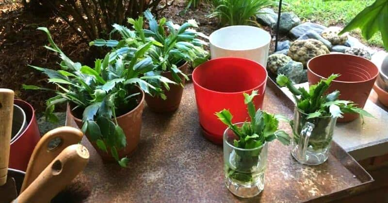 Repotting Christmas Cactus When & How