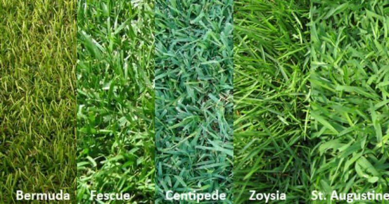 Type Of Grass Growing In Your Lawn