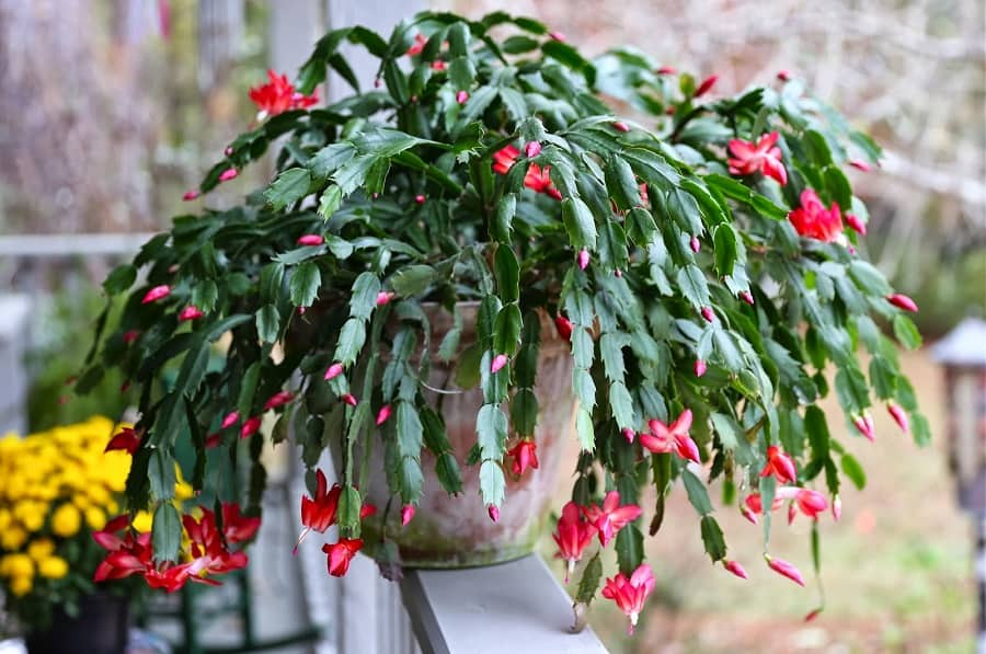 Repotting Christmas Cactus: When And How To Transplant Christmas Cactus