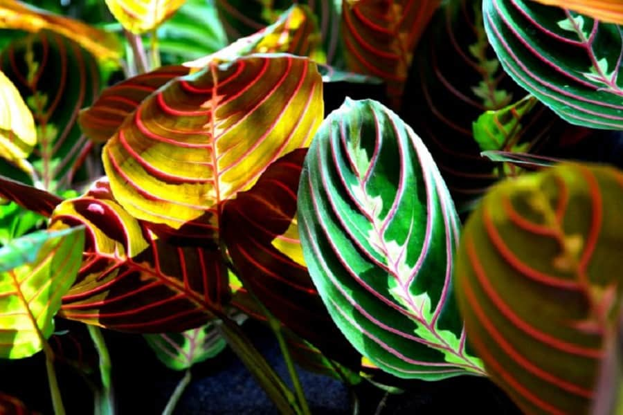How To Propagate Prayer Plant: 4 Methods To Do It Successfully