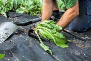 Using Weed Barrier Under Mulch To Stop Weeds From Growing In Mulching Material