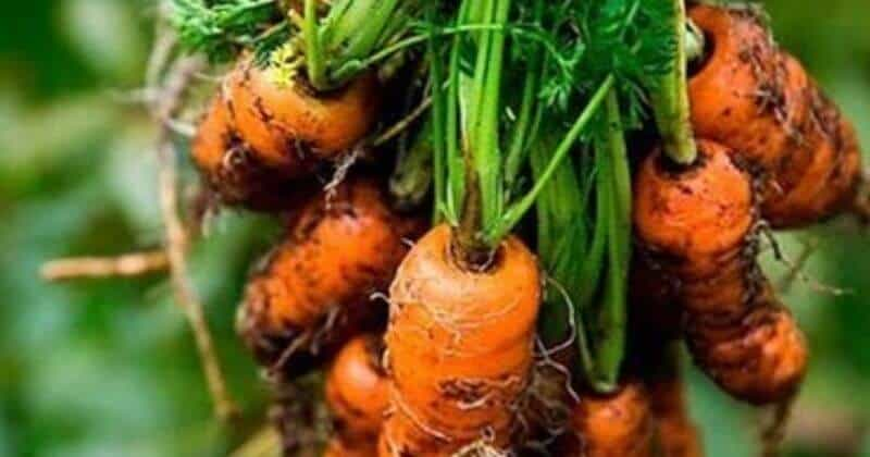 Growing Carrots In Containers_ How To Plant, Care And Grow Carrot In Pots