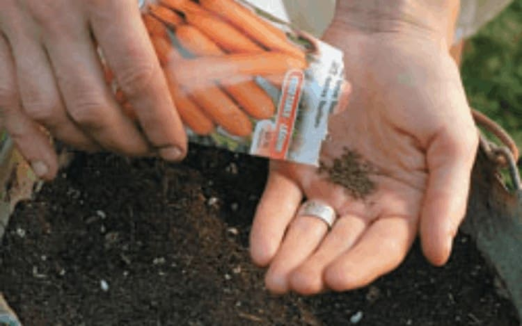 Planting The Carrot Seeds