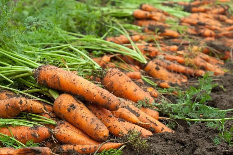 Harvesting Carrots From Containers