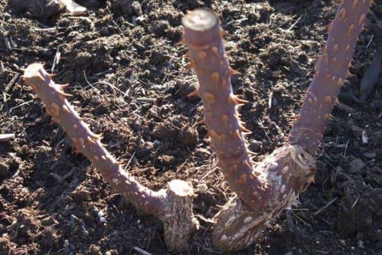 Best Way To Plant Bare Root Roses