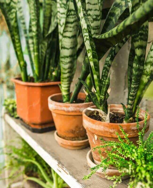 Correct Pot Size For Snake Plant