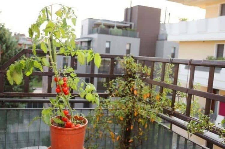 Do Tomato Plants Prefer Morning Or Afternoon Sun_