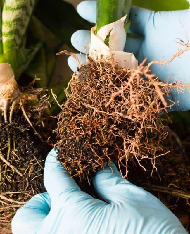 Examine The Roots Of Your Plant