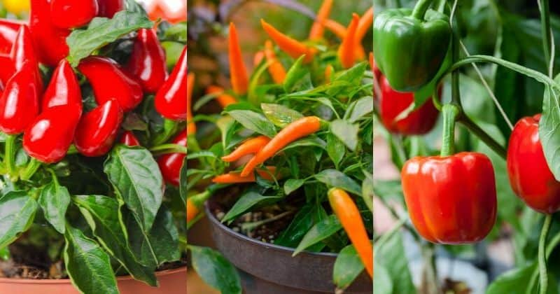 Growing Peppers In Containers How To Grow Different Peppers Varieties In Pots