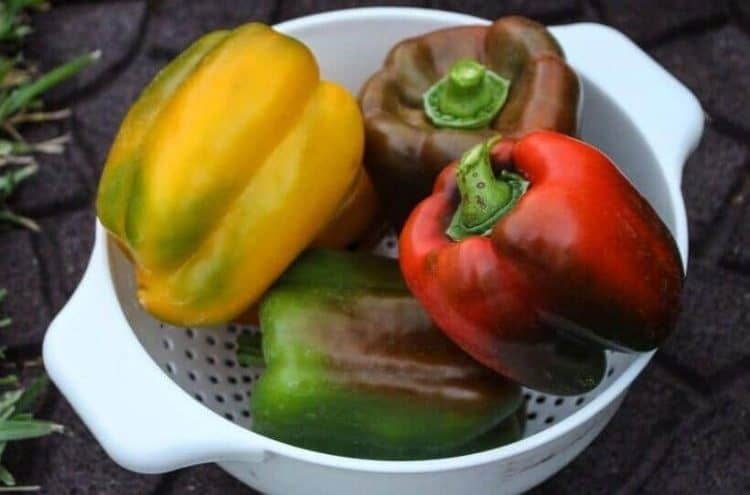 Harvesting bell Peppers