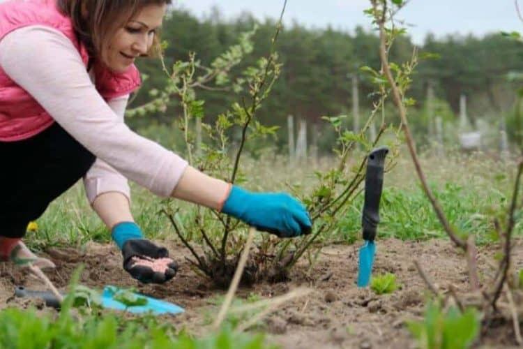 How Do I Fertilize Roses After Planting