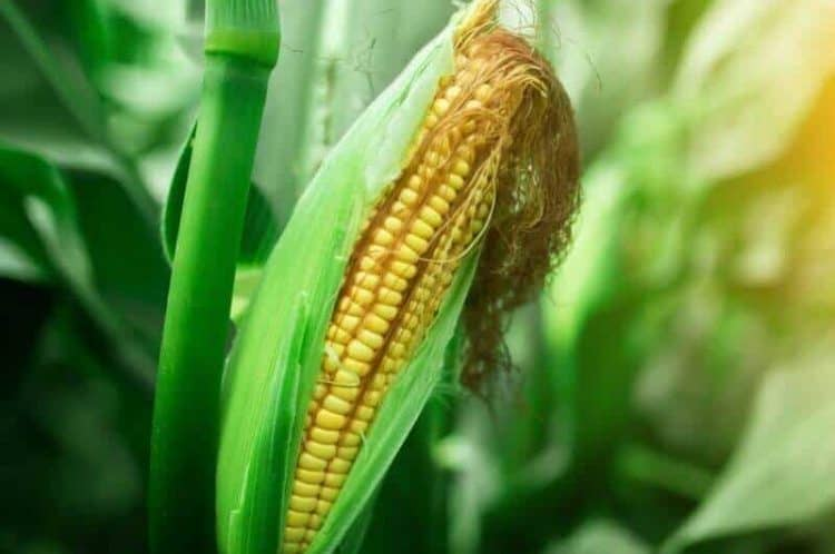 How Long Does It Take For Corn To Grow