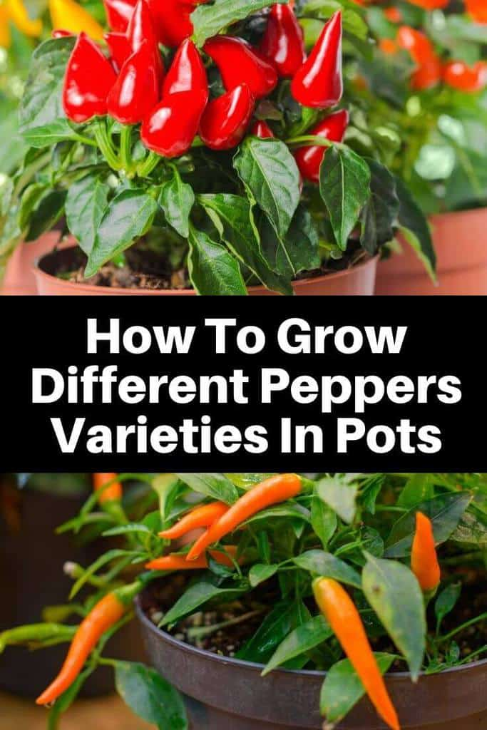 How To Grow Different Peppers Varieties In Pots
