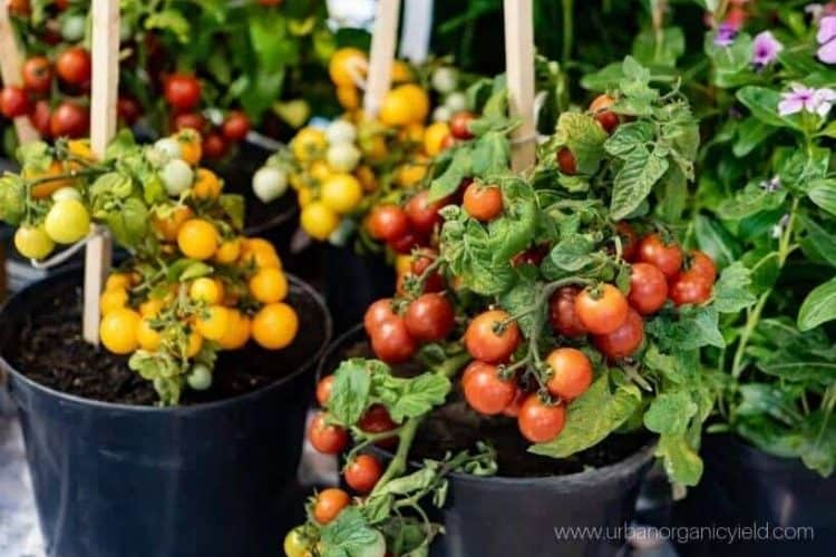 How To Grow Tomatoes In A Pot