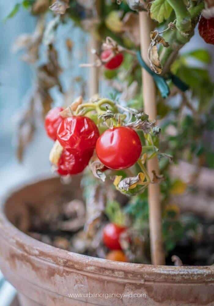Tomato Early Blight Disease