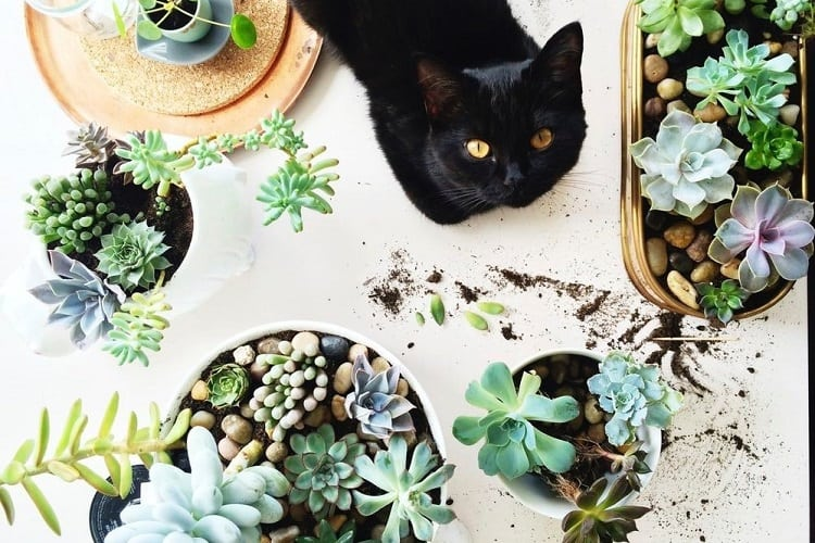 Are Succulents Poisonous To Cats And Dogs? Toxic And Non-Toxic Succulents For Pets
