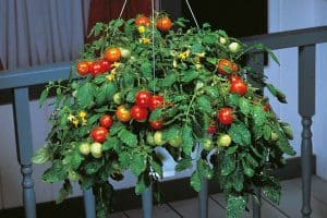Growing Tomatoes In Pots: Planting, Care, And Fertilizing Container Tomatoes