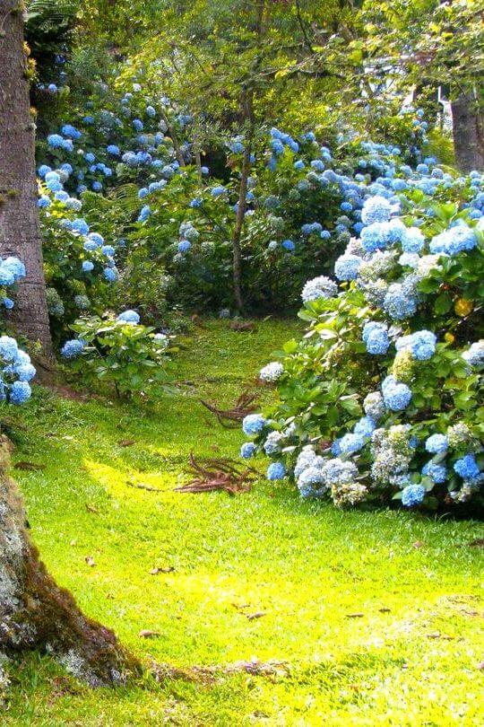 hydrangea under pine tree