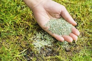 Overseeding Lawn: How To Plant Grass Seed On Existing Lawn