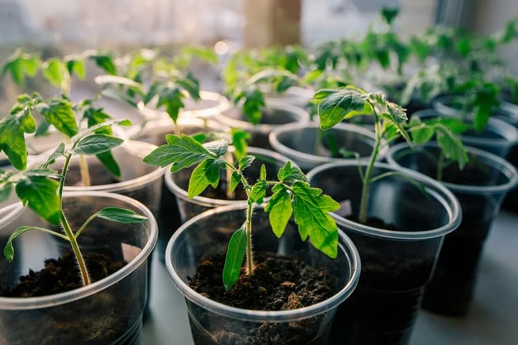Starting Tomatoes From Seeds Or Seedlings