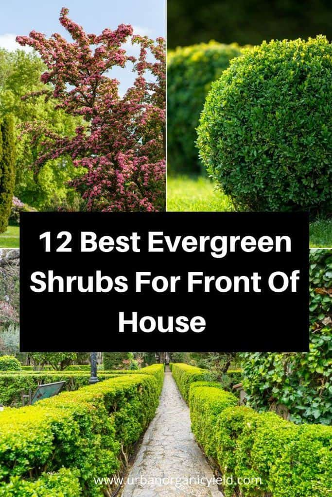 12 Best Evergreen Shrubs For Front Of House
