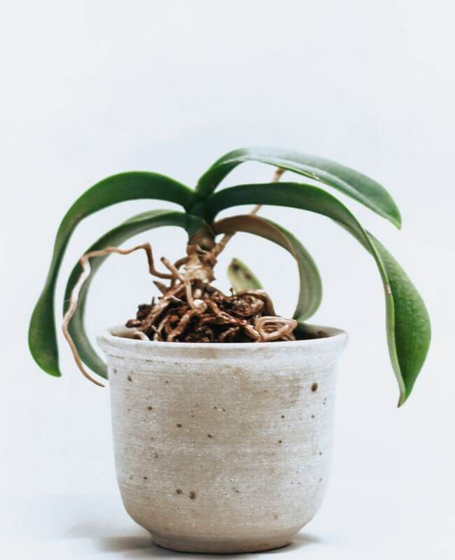 How Do I Know If My Orchid Needs To Be Watered?