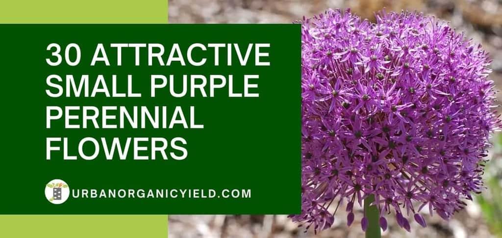small purple perennial flowers