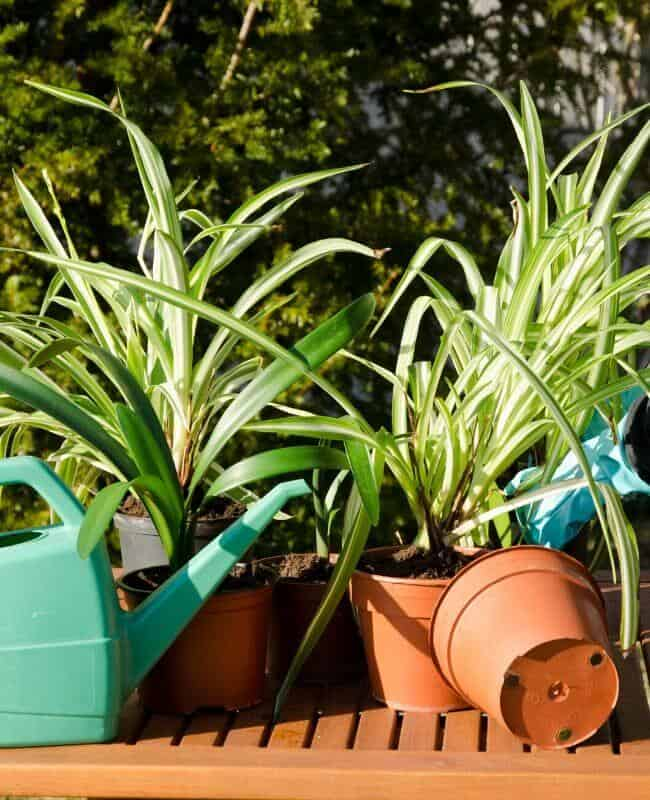 Dealing With Brown Tips On Spider Plants Caused By Uneven Watering