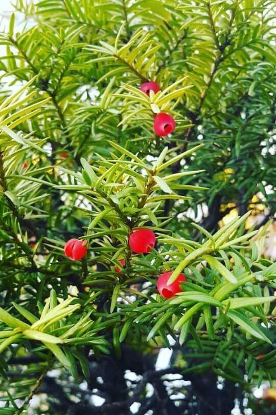 Densa Japanese Yew