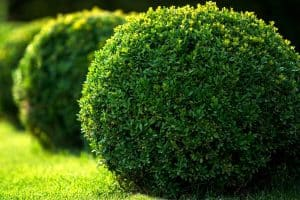 12 Best Low Maintenance Evergreen Shrubs For Front Of House