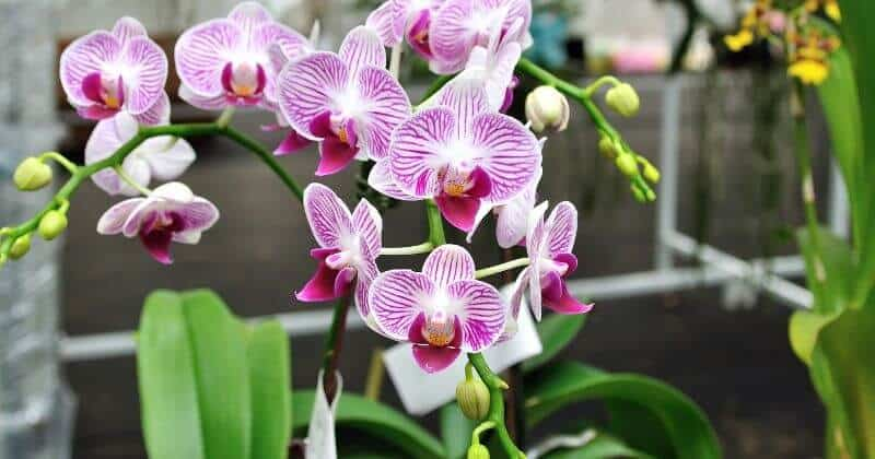 How Often Do Orchids Bloom And How To Make Orchid Blooms Last Longer
