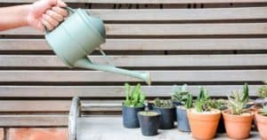 How Often To Water Cactus, Both Indoors & Outdoors