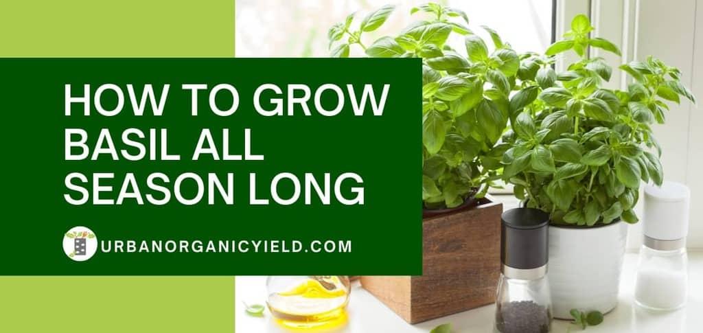 Is Basil A Perennial Herb? How To Grow Basil All Season Long