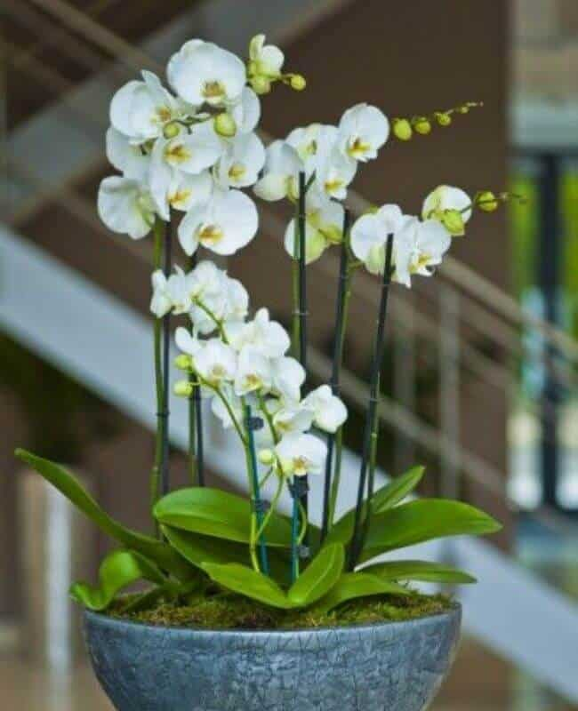How To Make Orchid Blooms Last Longer (1)