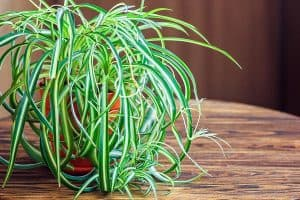Why Does My Spider Plant Have Brown Tips? (And How To Fix It)