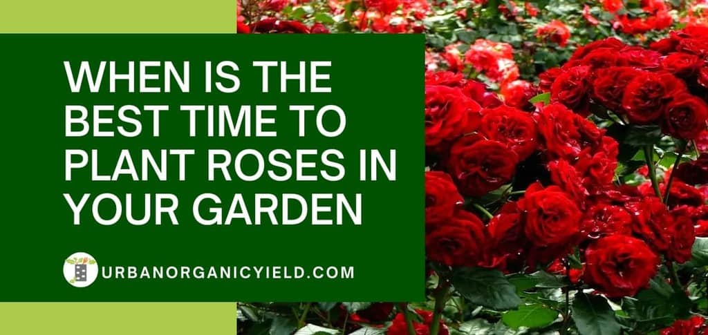 When Is The Best Time To Plant Roses In Your Garden