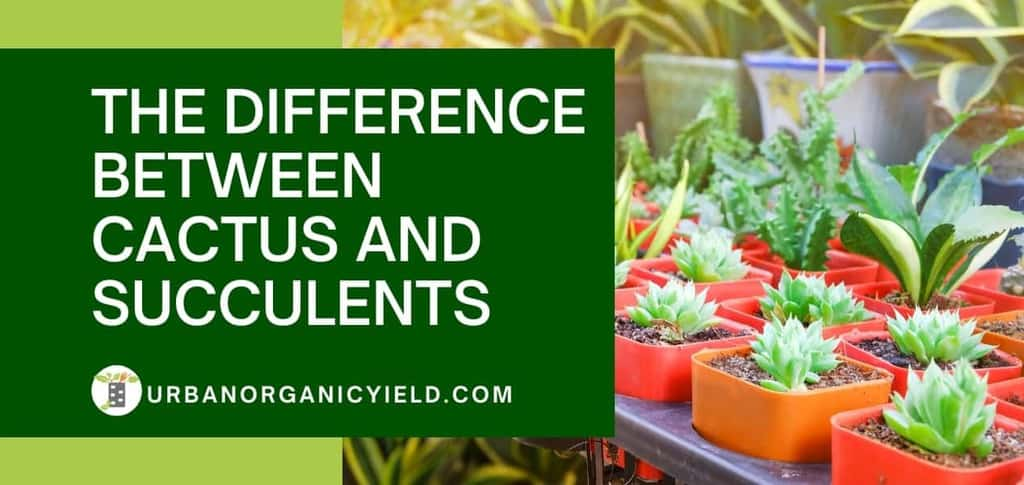 difference between cactus and succulents