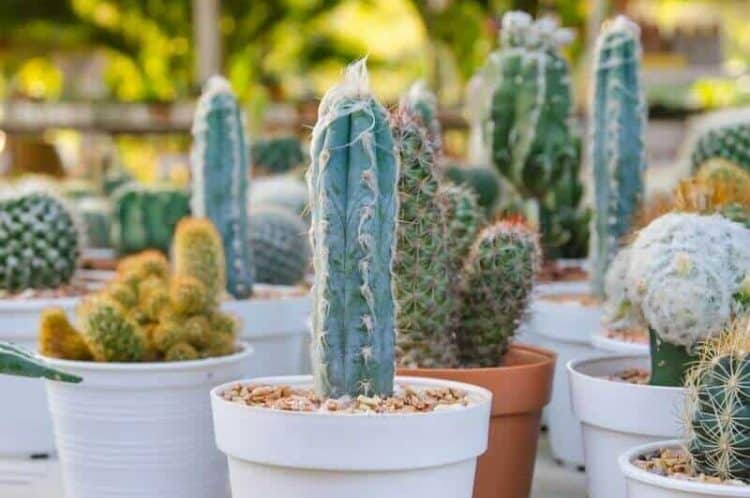 What Species Of Cactus Is It_