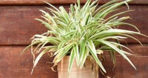 Why Does My Spider Plant Have Brown Tips_ (And How To Fix It)