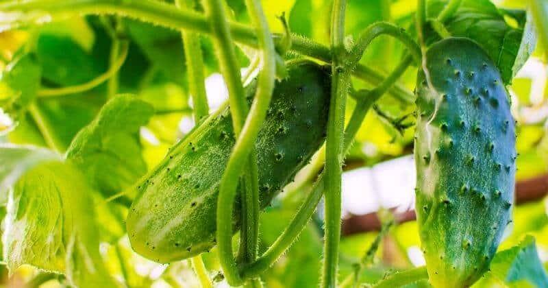 Why Use Epsom Salt On Cucumber Plants