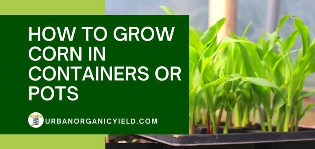 Growing Corn In Containers: Yes, You Can Even Grow Corn In A Pot!