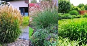14 Terrific Tall Ornamental Grasses And Grass-Like Plants For Privacy (1)
