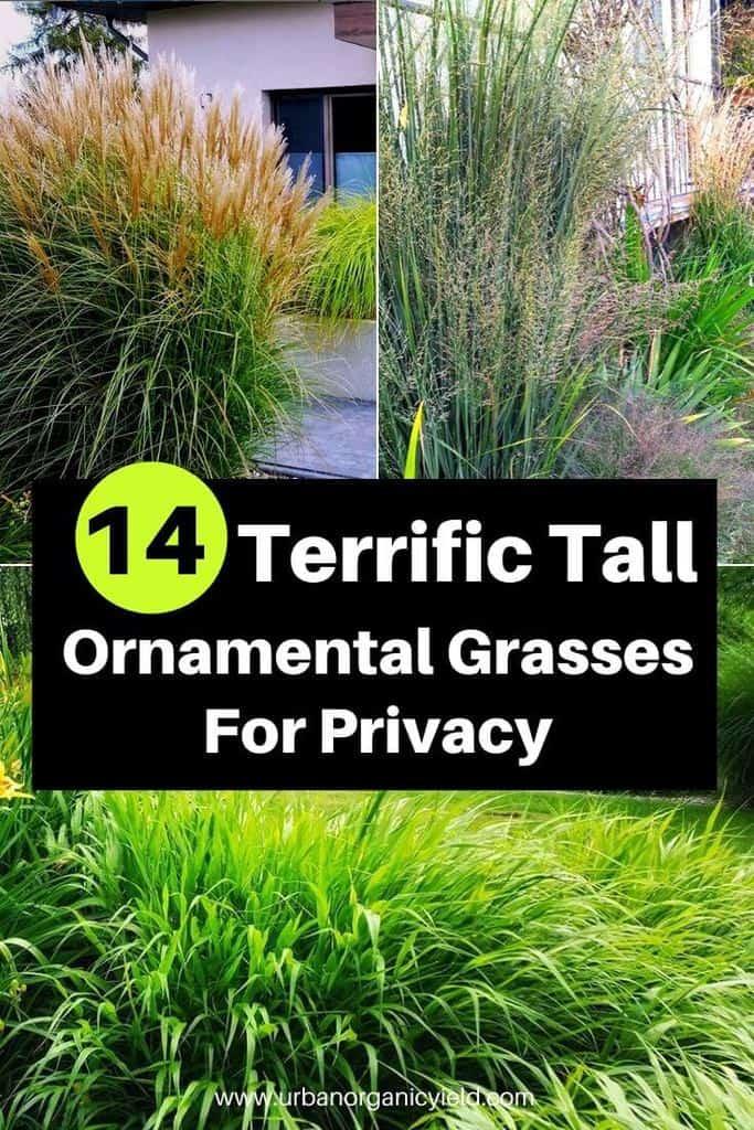 14 Terrific Tall Ornamental Grasses For Privacy