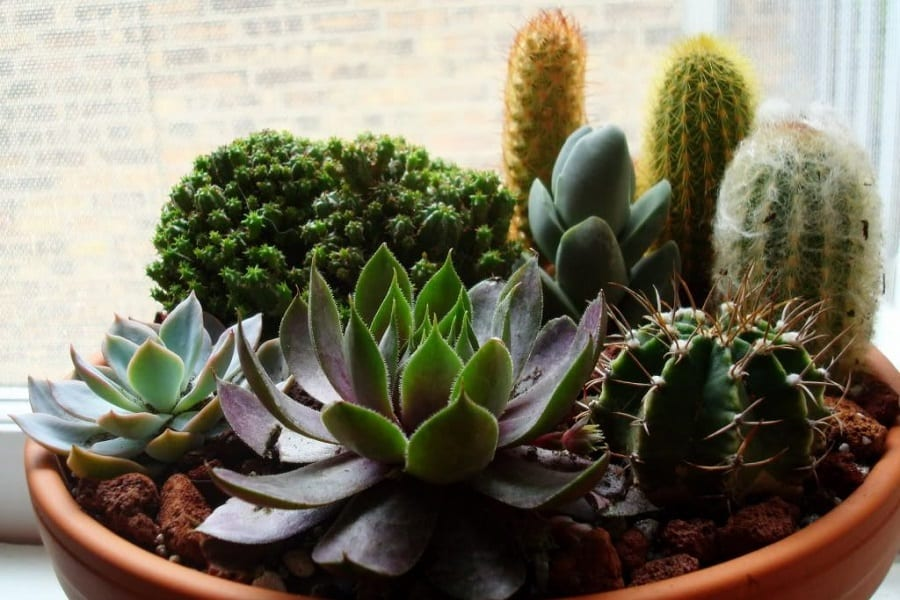 What's The Difference Between Cactus And Succulents?