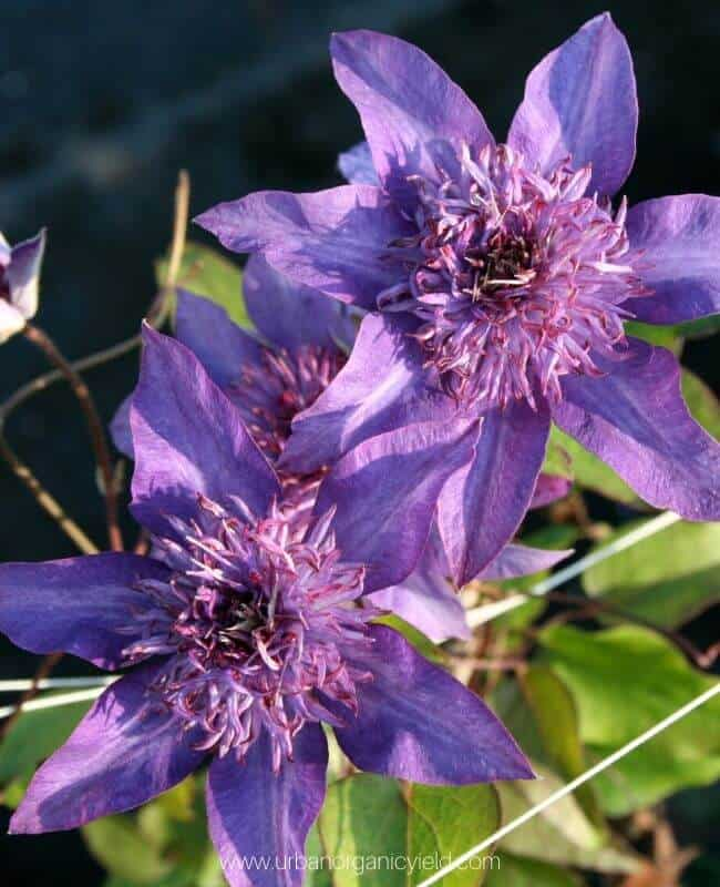 Leather Flower (Clematis)
