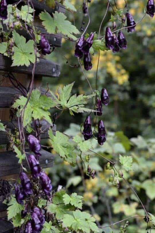 Aconitum Hemsleyanum
